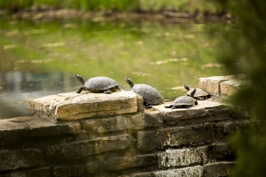 Picture of turtles on rocks